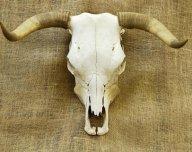 9. Stárnoucí býk